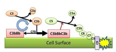 Diagram of alternative pathway protein cascade